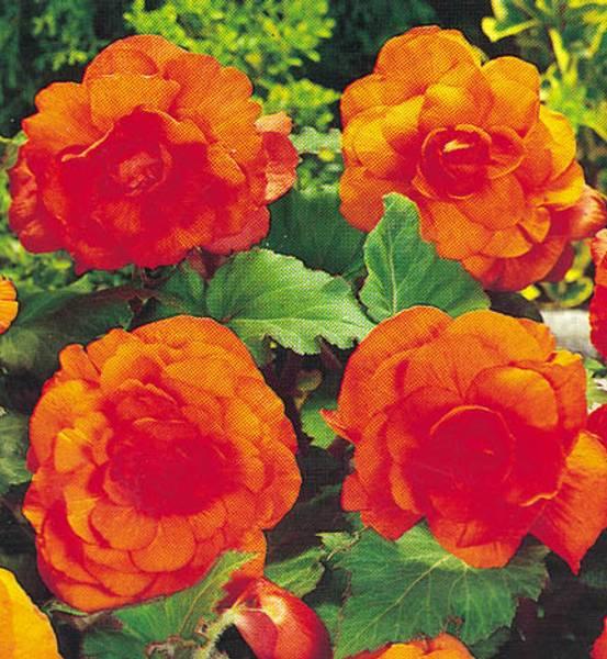 Bilde av STORBLOMSTRET DOBBEL BEGONIA - Orange