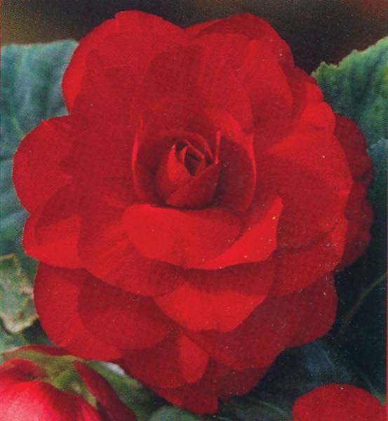 Bilde av KJEMPE BEGONIA 'Maxima Multiflora Red'