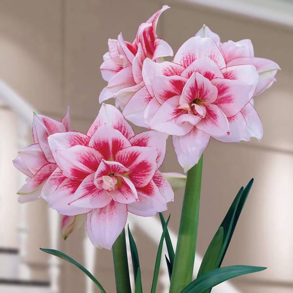 Bilde av Amaryllis 'Elvas' * - 1 stk. blomsterløk