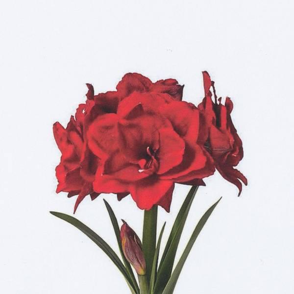 Bilde av Amaryllis 'Cherry Nymph  - 1 stk. blomsterløk
