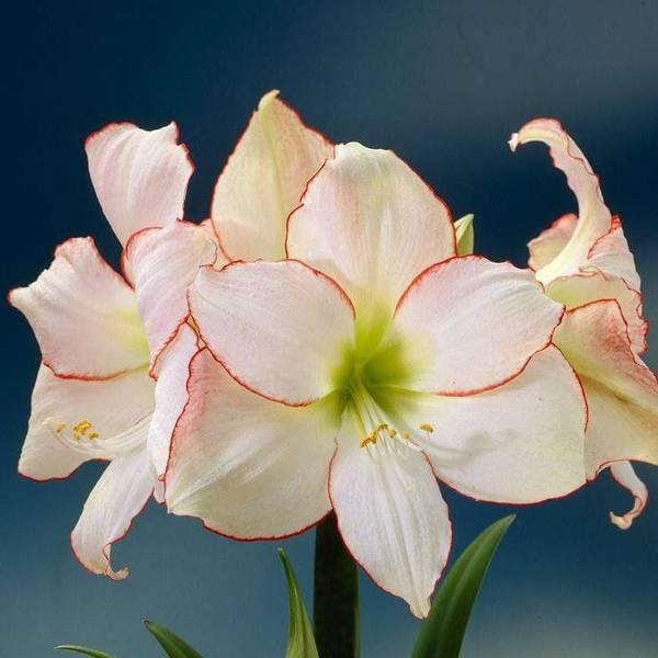 Bilde av Amaryllis* 'Picotee' - 1 stk. blomsterløk
