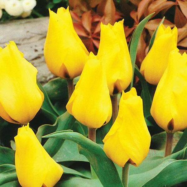 Bilde av Tulipan Gold West - 8 stk. blomsterløk