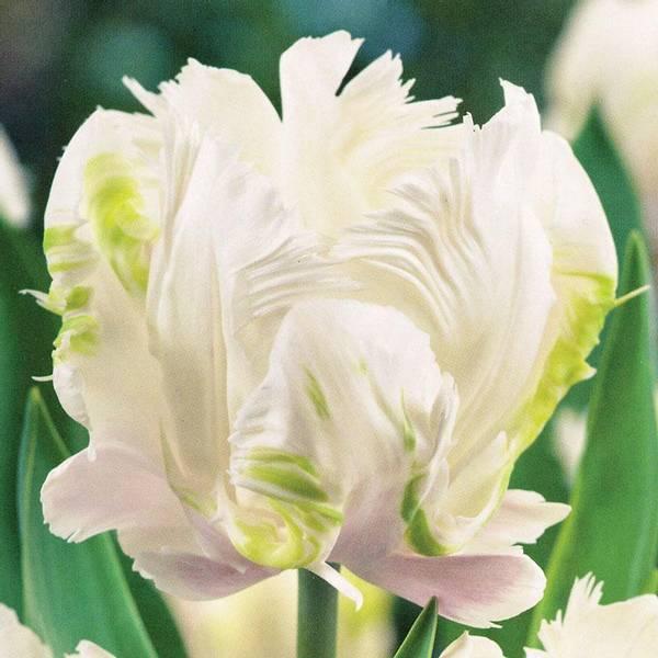 Bilde av Tulipan White Parrot - 6 stk. blomsterløk