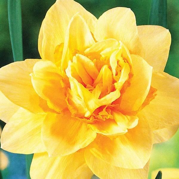 Bilde av Narcis Texas - 5 stk. blomsterløk