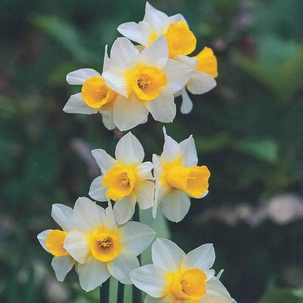 Bilde av Narcis Golden Echo* - 5 stk. blomsterløk