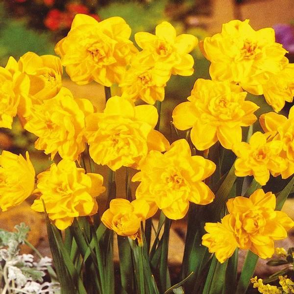 Bilde av Narcis Pencrebar - 15 stk. blomsterløk