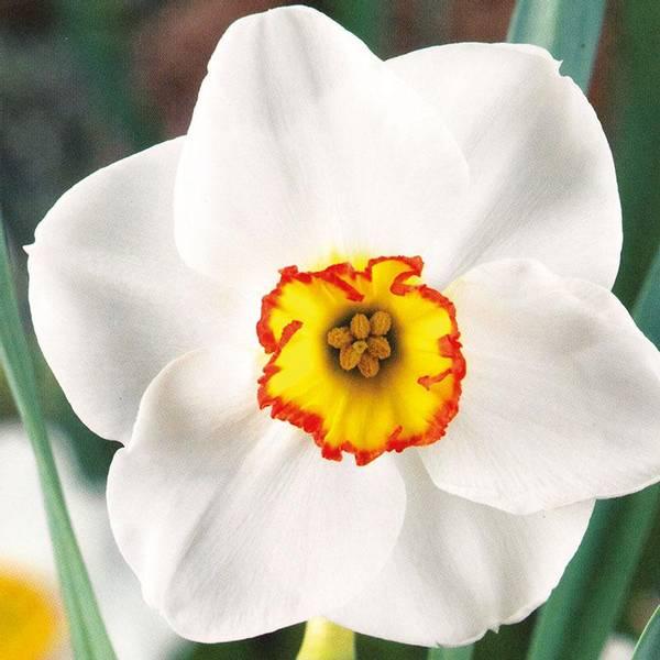 Bilde av Narcis Merlin - 5 stk. blomsterløk