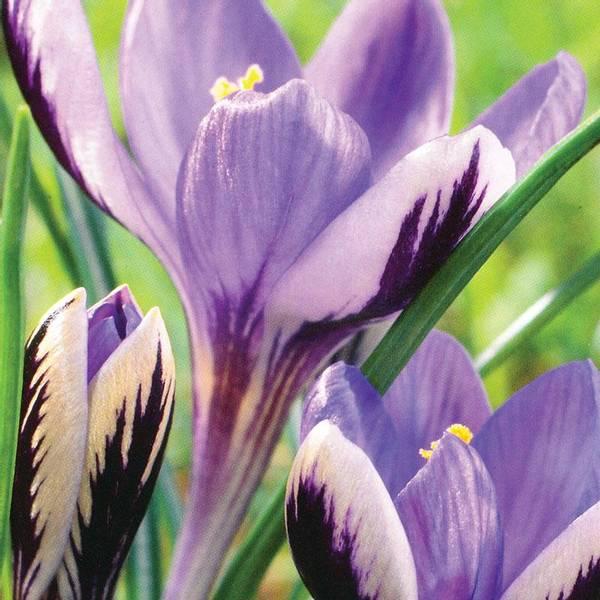 Bilde av Crocus *Sieberi Spring Beauty - 25 stk.