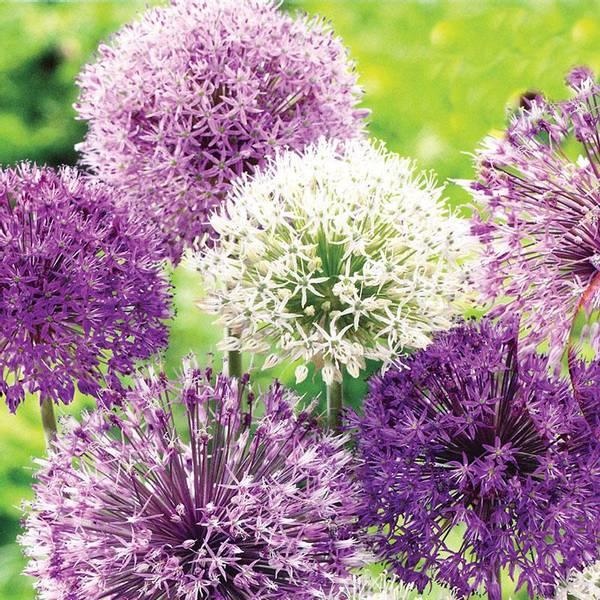 Bilde av TILBUD! Allium Mix. - 5 stk. blomsterløk