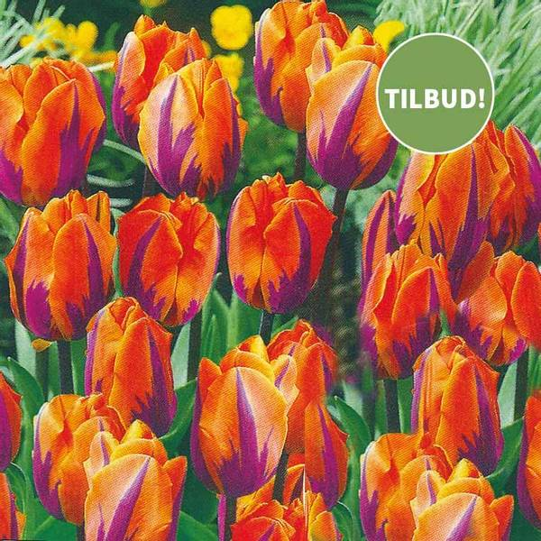 Bilde av TILBUD! *Tulipan Prinzess Irene - 30 stk.