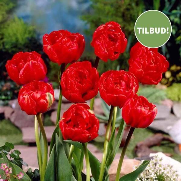 Bilde av NYHET! Tulipan Miranda  - 8 stk. blomsterløk