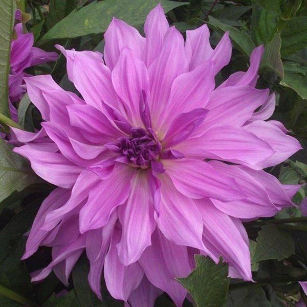 Bilde av Dahlia 'Lavender Ruffels'
