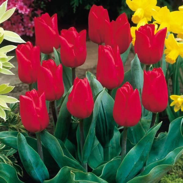 Bilde av NYHET! Tulipan Merry Christmas -10 stk.
