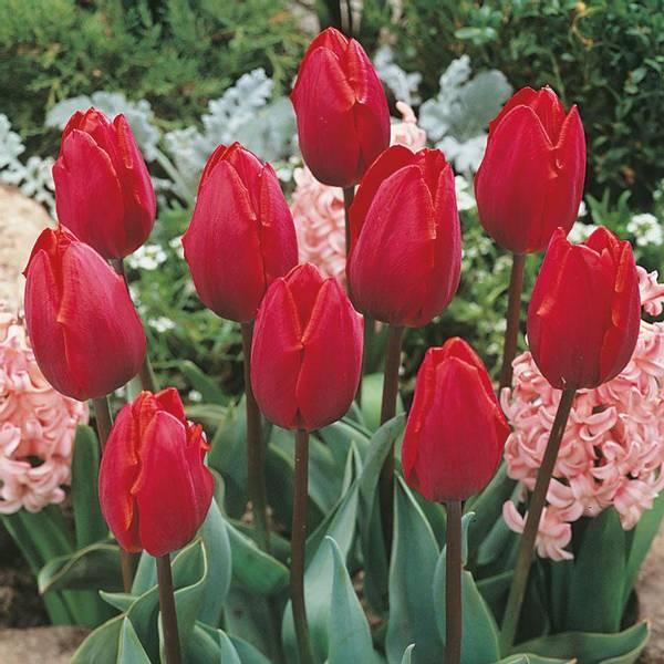Bilde av Tulipan Couleur Cardinal - 8 stk. blomsterløk