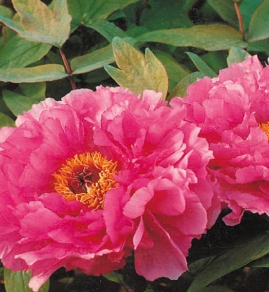 Bilde av TRE-PEON Mørk rosa