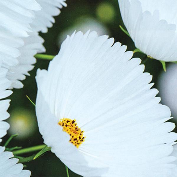 Bilde av COSMOS 'Cupcakes White'. PYNTEKORG