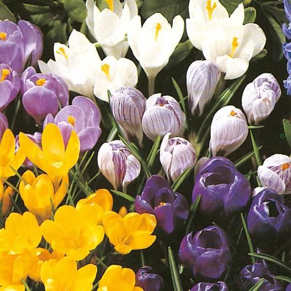 Bilde av Storblomstrede krokus i blanding* - 12 stk.