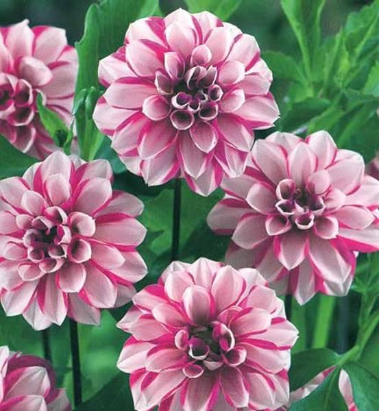 Bilde av DAHLIA 'Priceless Pink'
