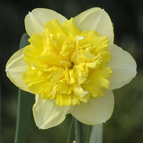 Bilde av NYHET! Narcis Full House - 5 stk. blomsterløk