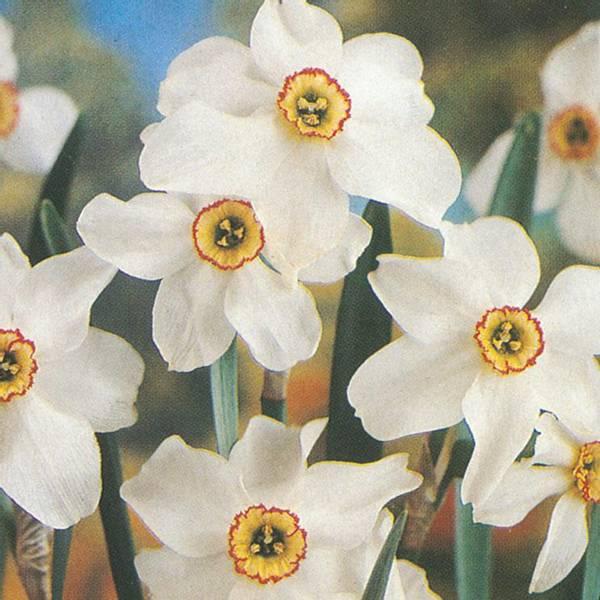 Bilde av Narcis Pheasant's Eye - 5 stk. blomsterløk