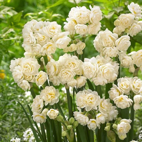 Bilde av NYHET! Narcis Erlicheer - 3 stk. blomsterløk