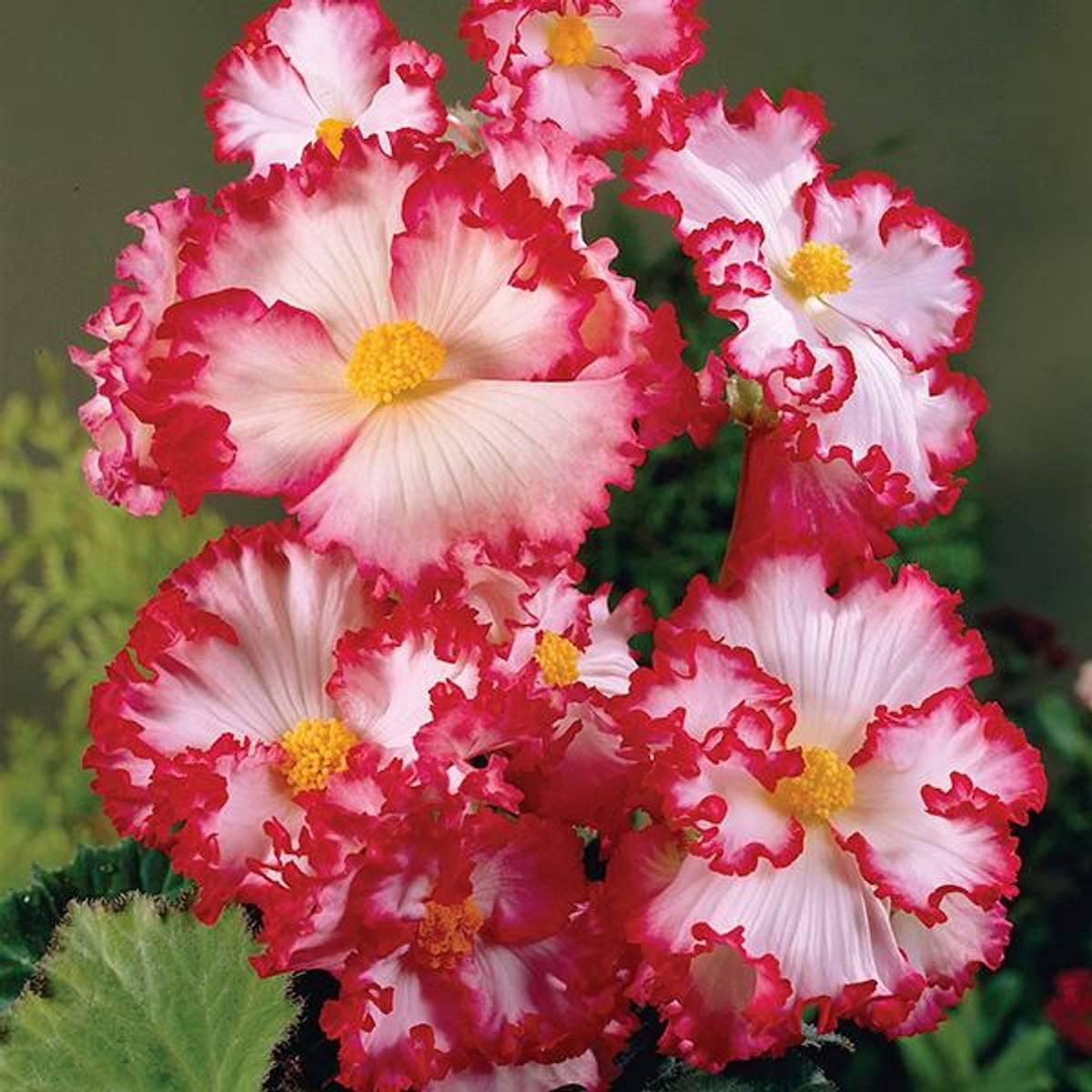 BEGONIA Crispa Marginata hvit/rød. 3 stk.