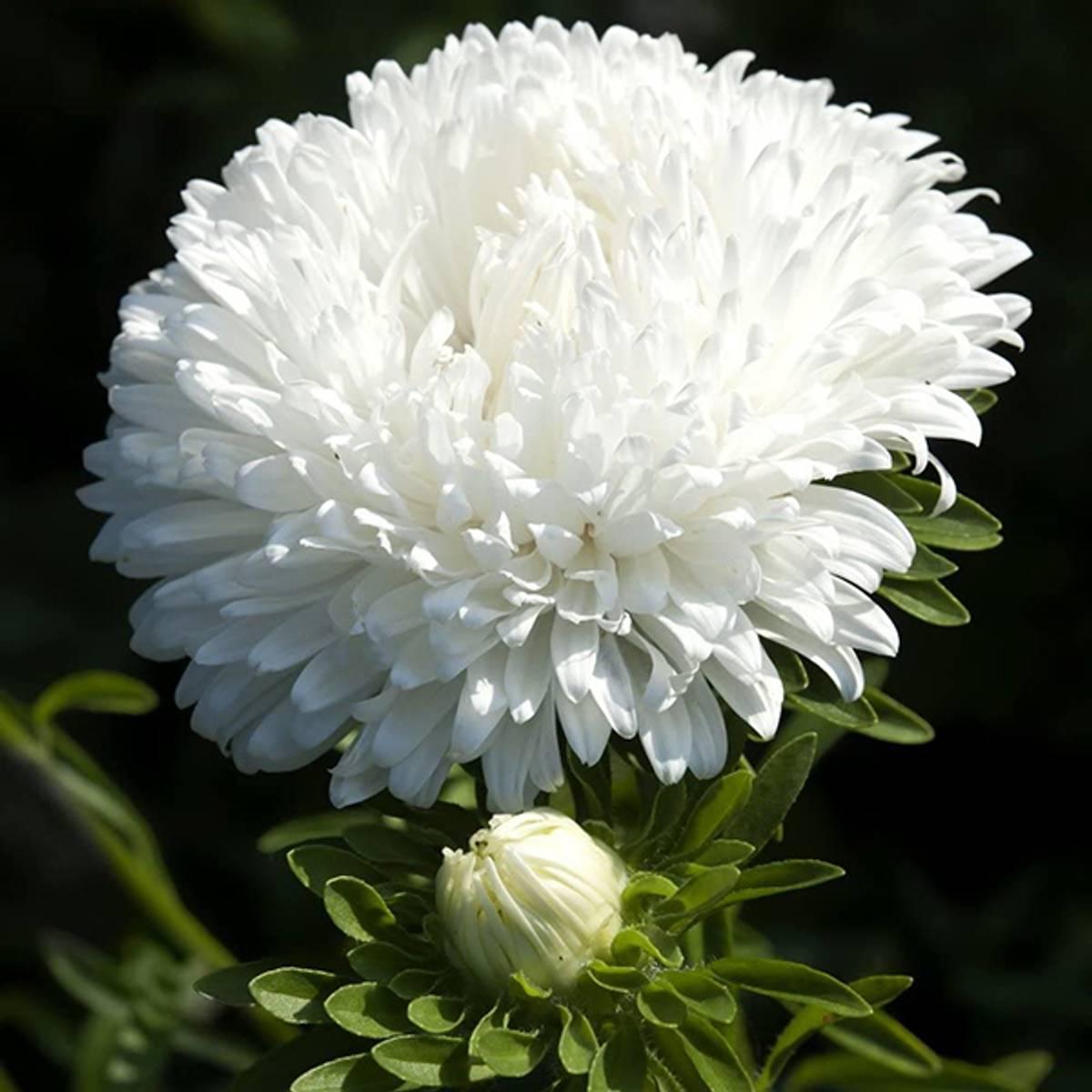 ASTER* Chinensis 'Milady White'