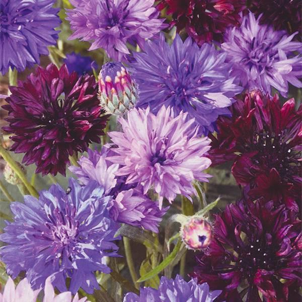 Bilde av CENTAUREA 'Purple Haze Mix.' - KORNBLOMST