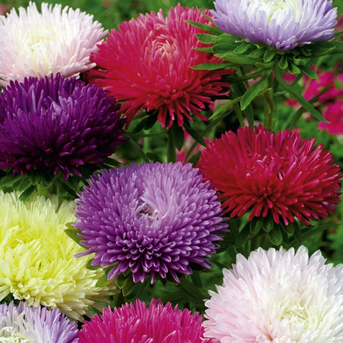 ASTER  'Tall Fraggle' mix.