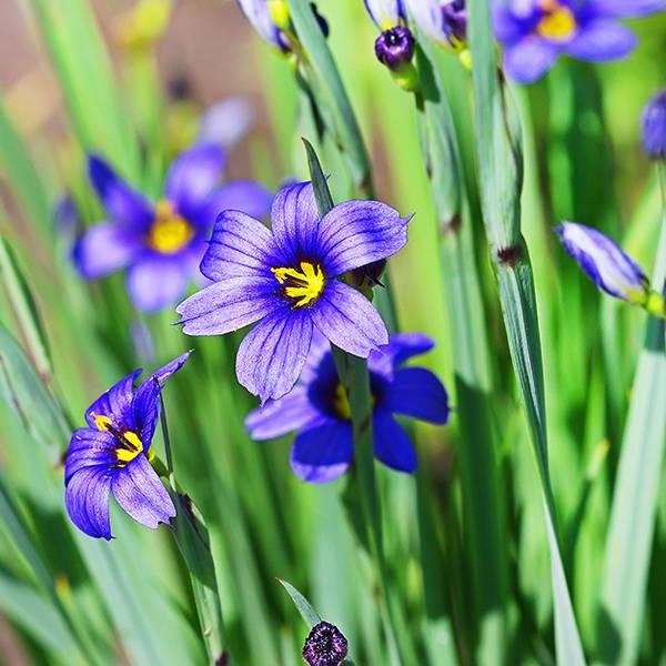 Bilde av IDAHO BLUE-EYED GRASS 'MOODY BLUES'