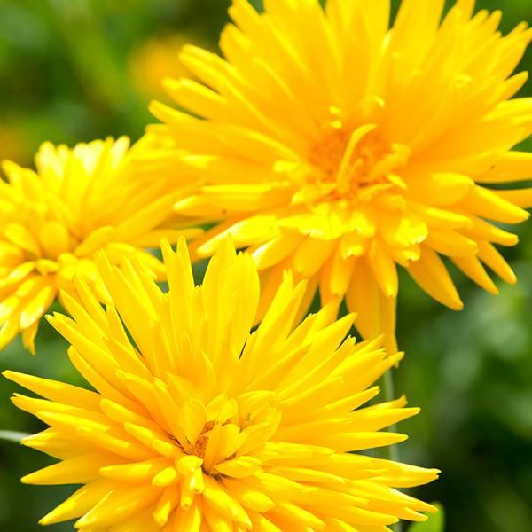 Bilde av CALENDULA 'Porcupine Yellow'. RINGBLOMST