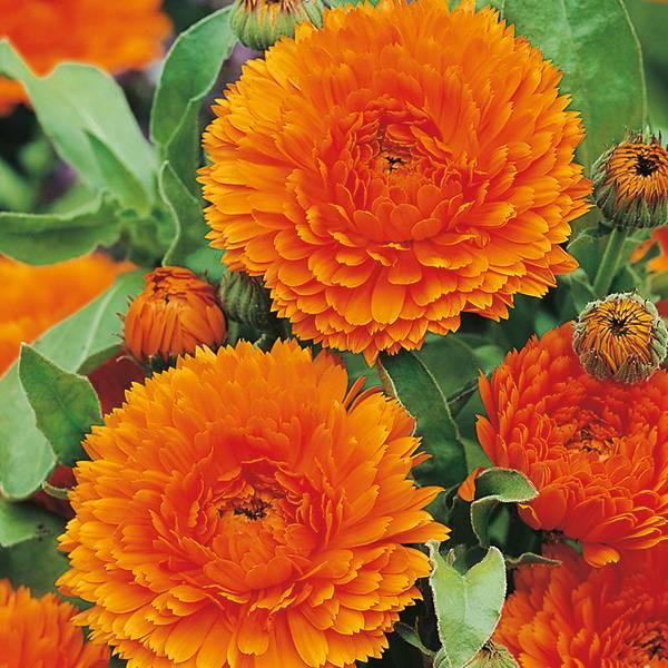 Bilde av CALENDULA 'Orange King'. RINGBLOMST