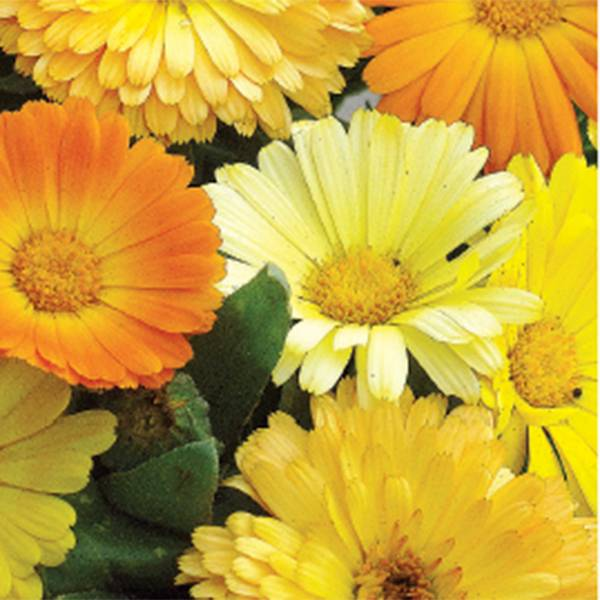 Bilde av CALENDULA 'Daisy' Mix. RINGBLOMST