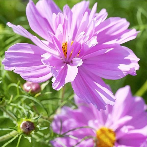 Bilde av COSMOS 'Fizzy Pink'. PYNTEKORG
