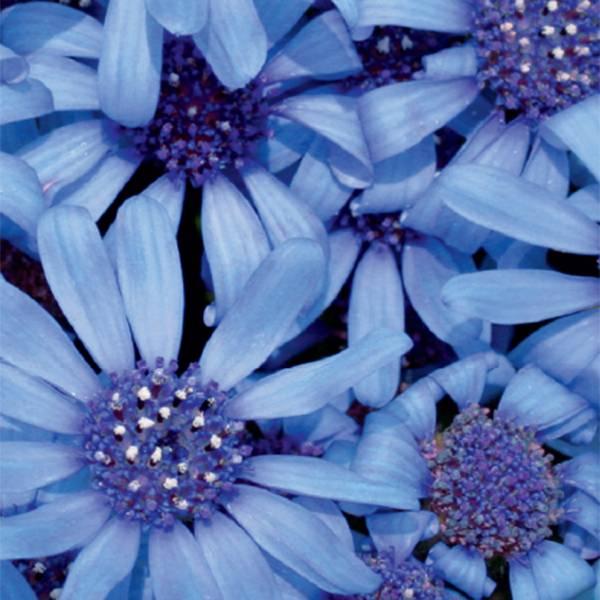 Bilde av FELICIA 'Pretty Blue'
