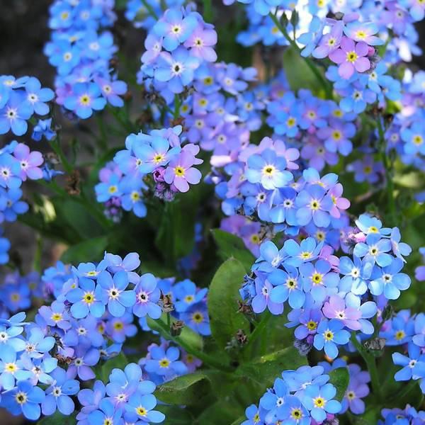 Bilde av MYOSOTIS 'Spring Symphony Blue'. FORGLEMMEGEI