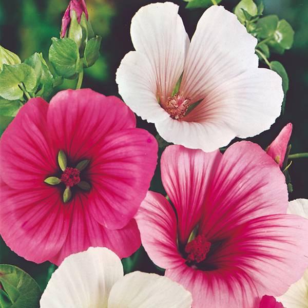 Bilde av MALOPE 'Strawberries & Cream'. SOMMERSTOKKROSE