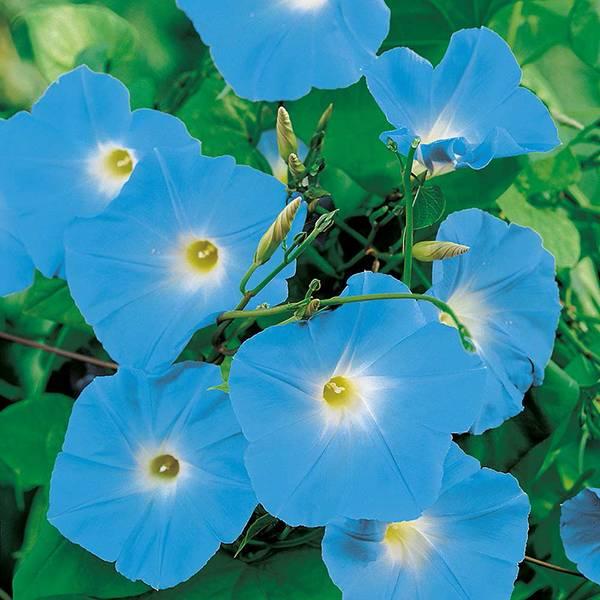 Bilde av IPOMOEA 'Heavenly Blue'. PRAKTVINDEL