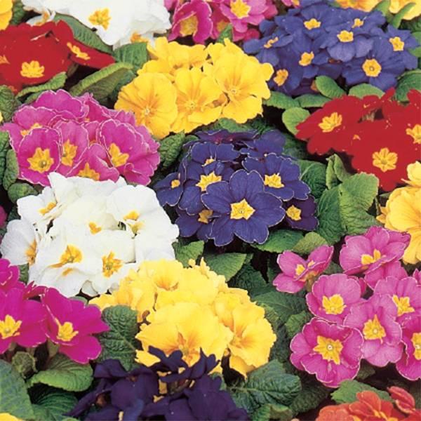 Bilde av PRIMULA Mix., vårblomstrende