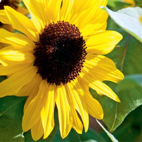 Bilde av HELIANTHUS 'Suntastic Yellow'. SOLSIKKE. F1