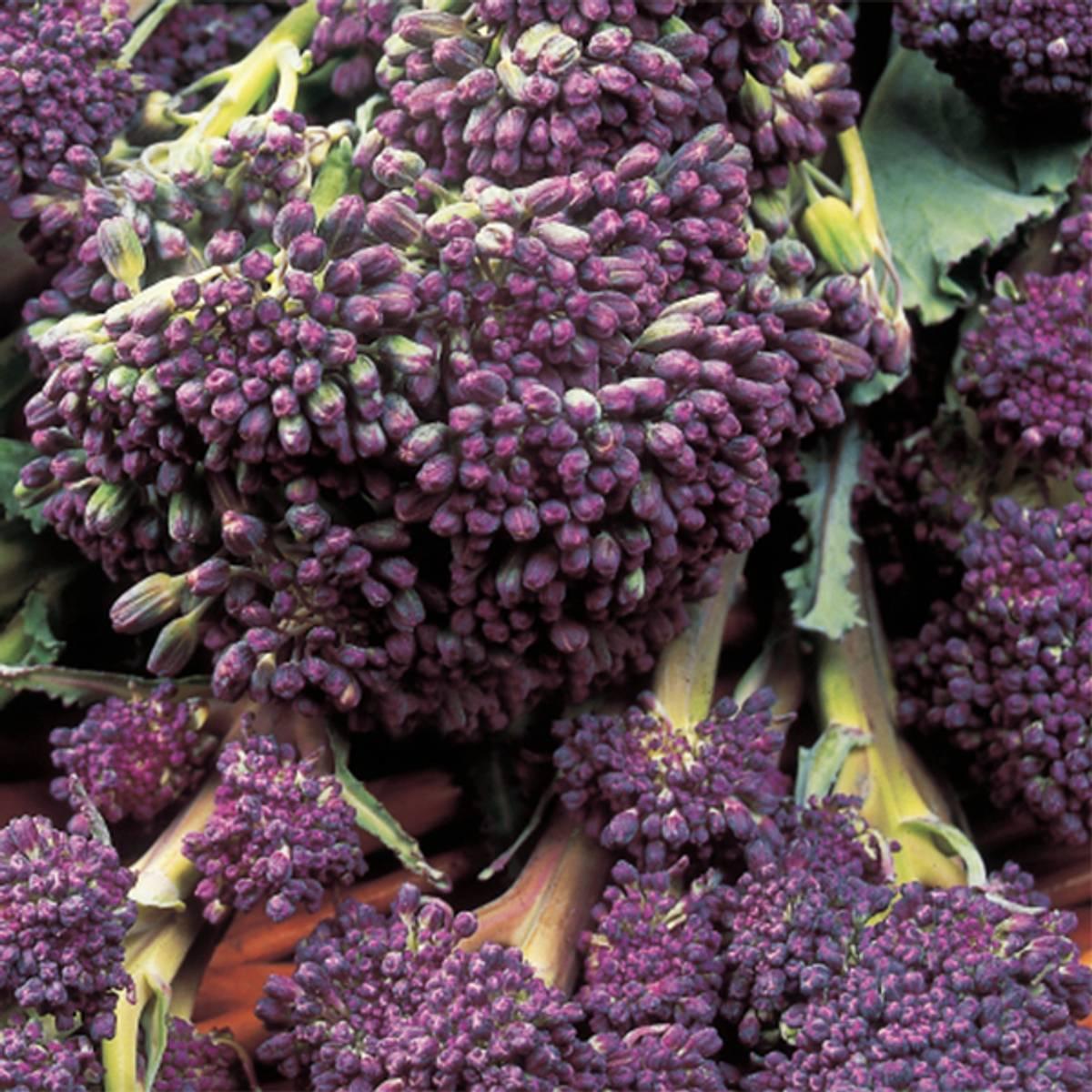 Brokkolini 'Purple Sprouting'