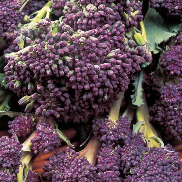 Bilde av Brokkolini 'Purple Sprouting'