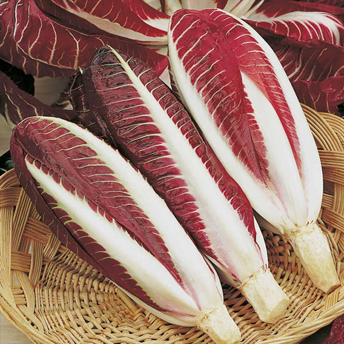 Endivesalat Chicory Rossa di Treviso precoce