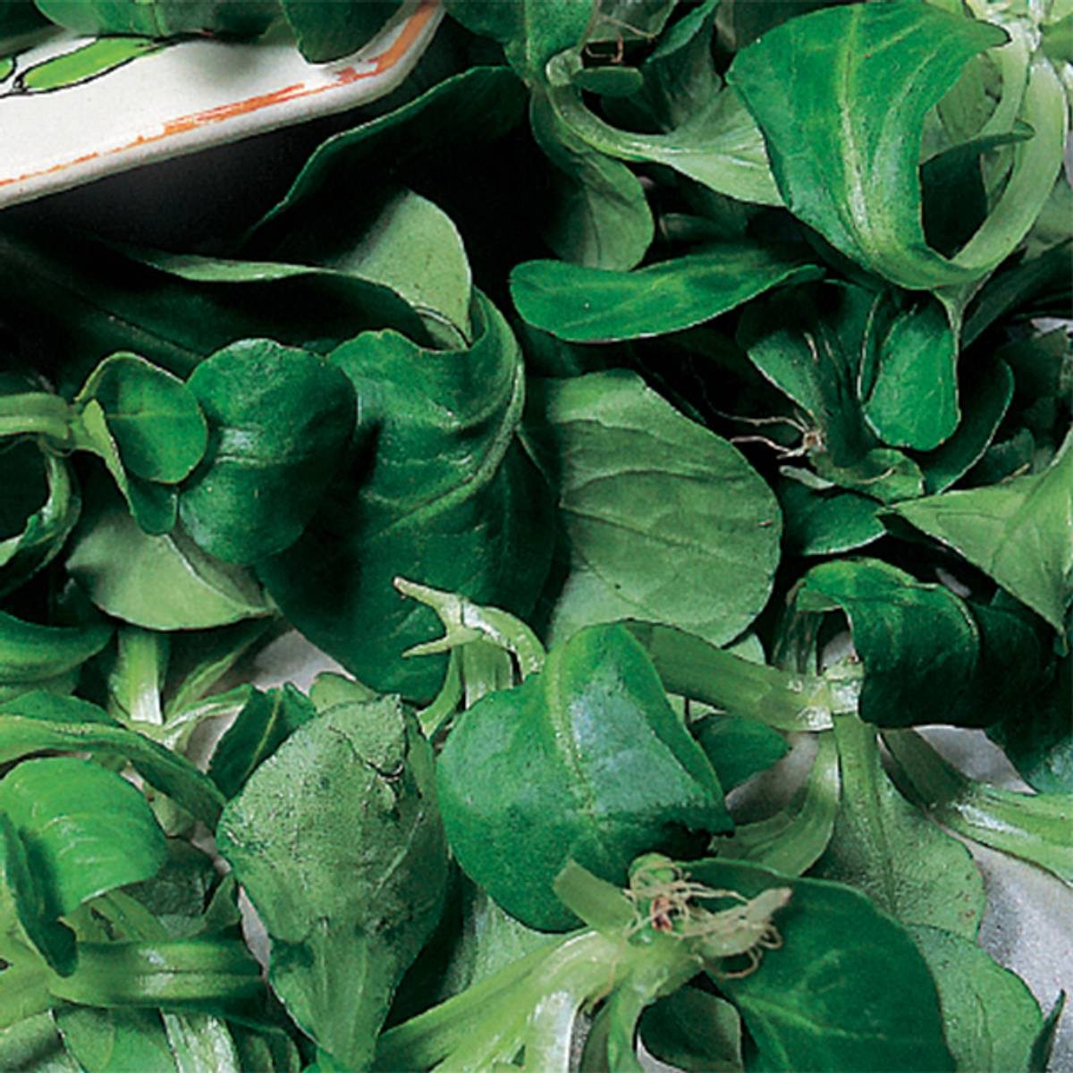 Bladsalat Lambs Lettuce