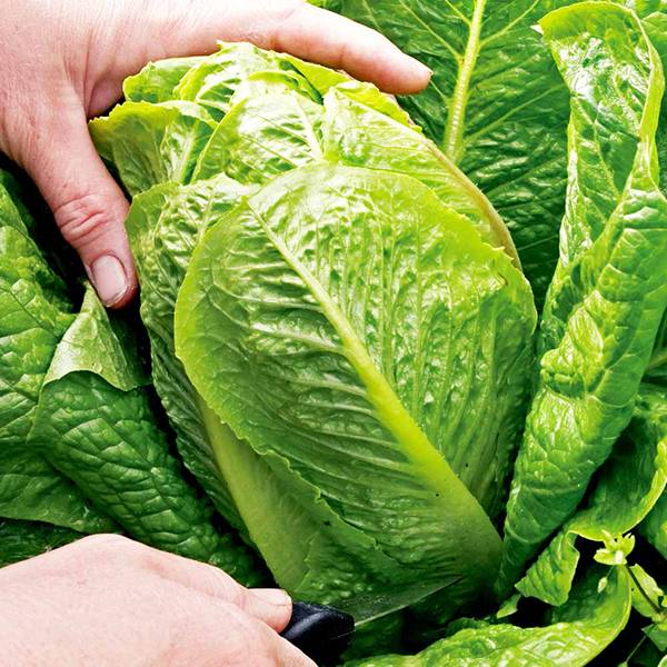 Bilde av Salat  Cosberg sweet success