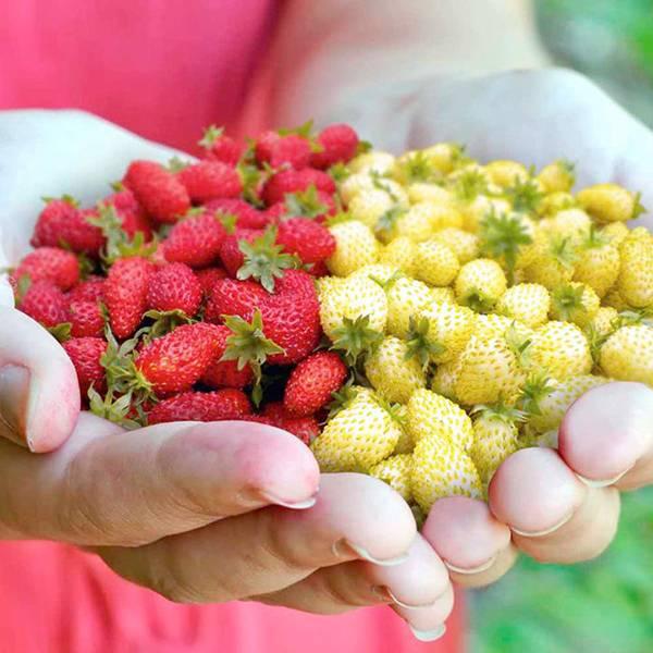 Bilde av Jordbær Red and White Mix.