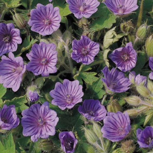 Bilde av GERANIUM 'Orchid Blue'. Storkenebb
