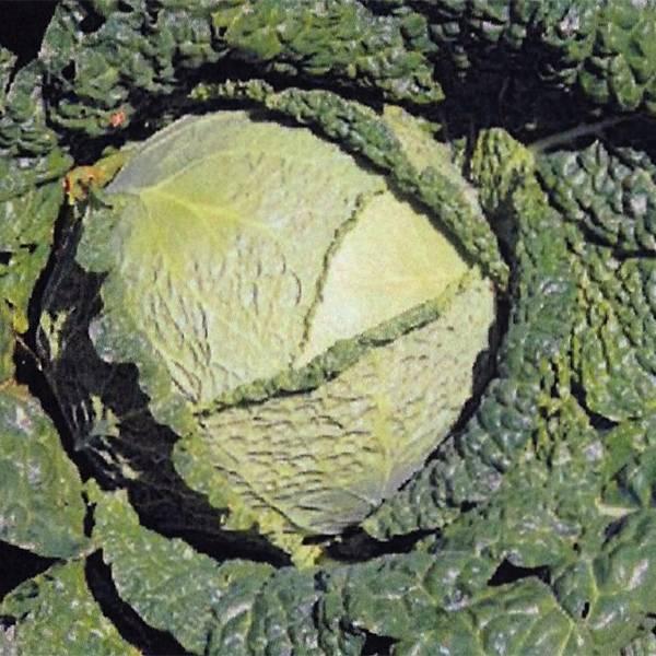 Bilde av HODEKÅL 'Savoy Cabbages' -   FRØBAND