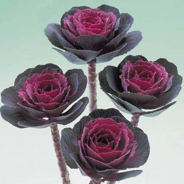 Bilde av BRASSICA 'Rose Crane'. PYNTEKÅL. F1