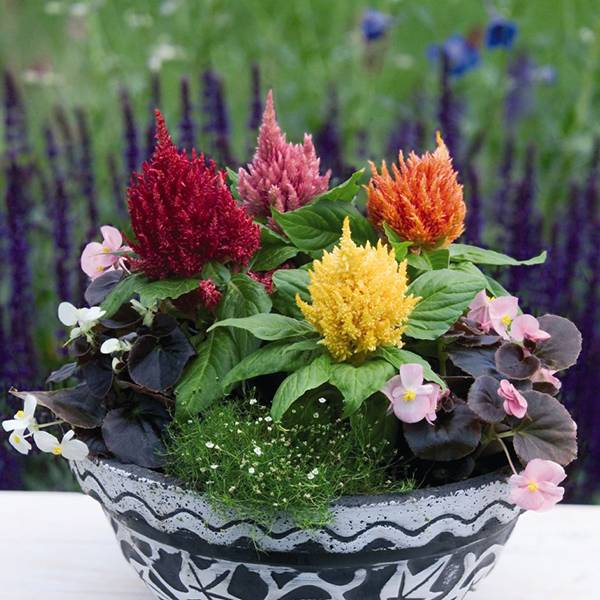 Bilde av CELOSIA 'Glorious Mixture'